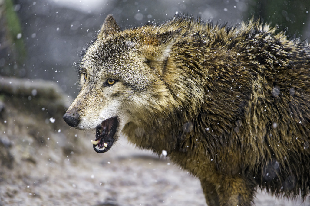 yes the rabid wolves in our national park keep mauling